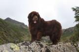 Canine Case Study: Jez (Newfoundland)