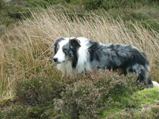 Jackie Goulder of Comeby Collies, Pickering